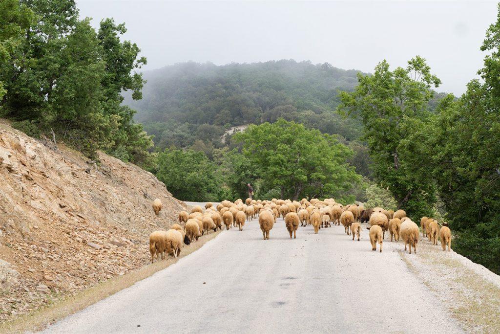Ovce Tazzeka Maroko